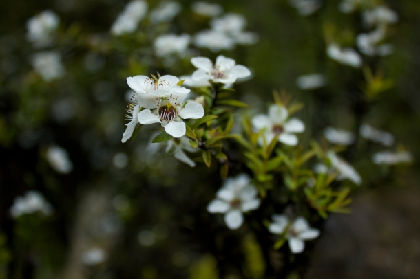Rangitoto flowers, NZ $50